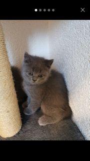 BKH Kitten RESERVIERT