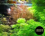 Schmalblättrige Ludwigie arcuata Wasserpflanzen Versand