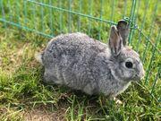 Farbenzwerg Zwergkaninchen Kaninchen weiblich ca