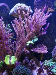Meerwasser Koralle VERSAND über 30cm