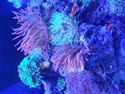 Meerwasser Aquarium RedSea ReefLed Tunze