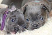 Französische Bulldoggen Welpen in Blue