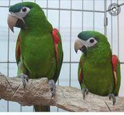 suche Papagei Handzahm