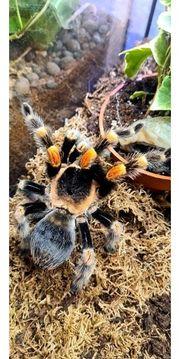 Vogelspinnen zur Abgabe
