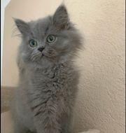 reinrassige Perser kitten Kätzchen weiblich