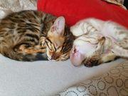bengal kitten zucht