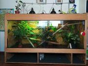 Terrarium komplett incl 3x Madagaskar-Taggecko