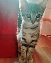 BengalVan Katze Mix Kitten