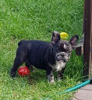 Französische Bulldogge Welpen Weibchen