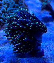 Meerwasser Euphyllia Black torch green