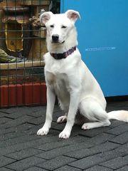 Junghund weiß 49 cm sucht
