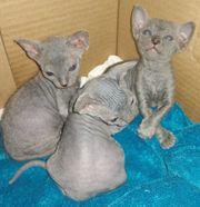 Don Sphynx Kitten abzugeben