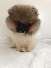 Pomeranian Bärchen