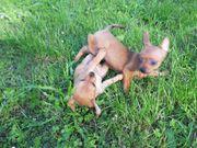 Bezaubernd kleine Zwergpinscher - Chihuahua - Welpen -