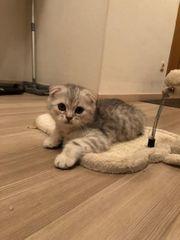 BKH Kitten Fold und Straight