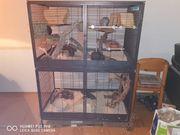 3 Degu Männchen inkl Käfig