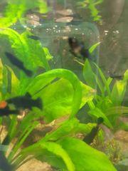 Black Molly Jungfische