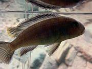 Malawis Pseudotropheus elongatus mpanga