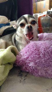 Juhu unsere Chihuahuawelpen sind gelandet