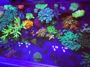 Steinkoralle SPS LPS Korallen