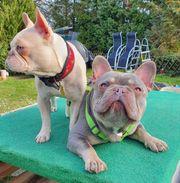 Französische Bulldoggen Deckrüde lilac tan