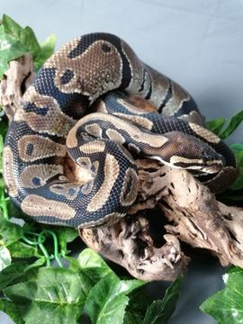 Königspython - Python regius 0 1: Kleinanzeigen aus Neuwied Neuwied - Rubrik Reptilien, Terraristik