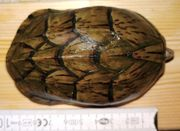 Zwerg-Moschusschildkröte S minor minor