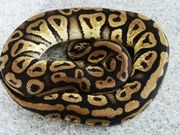 Pastel yellow Belly 0 1
