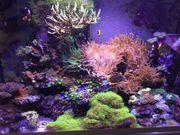 Korallen Meerwasser Ableger SPS LPS