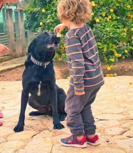Bild 4 - TROY Pastor Mallorquin - Familienhund sehr - Rabenau