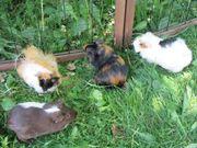 Betreuung von Meerschweinchen Kaninchen und