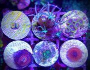 Meerwasser Korallen zoanthus Zoas