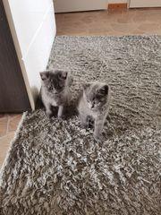 Kitten BKH