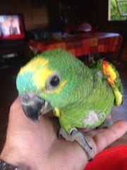 Junge Blaustirn Amazonen