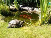 ich könnte noch Schildkröten Wasserschildkröten