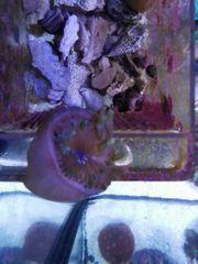 Meerwasser Ableger crassa Anemone