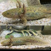 Axolotl heller Wildling Versand möglich