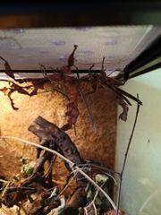 Gespenstschrecken Stabheuschrecken