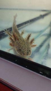 Axolotl Jungtier