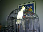 Gelbwangen-Kakadu zu verkaufen