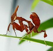 Geistermantis - Gottesanbeterin Phyllocrania Paradoxa