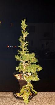 weihnachtsbaum BONSAI