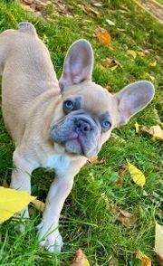 Französische bulldoge lilac