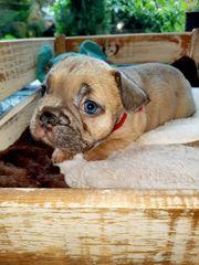 Französische Bulldogge Hündin Rüde mit