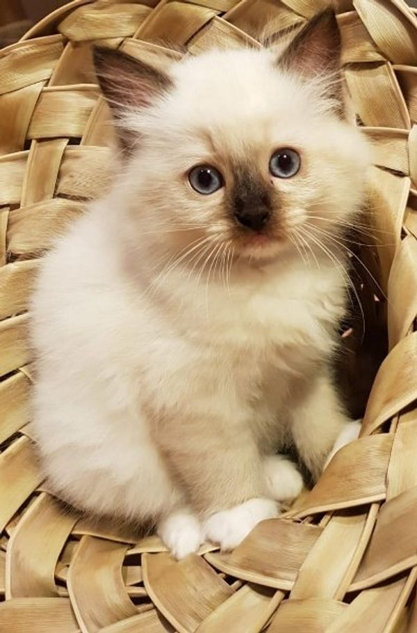 Ragdoll Kitten mit Ahnentafel