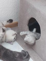 schottisch Fold katzenbabys