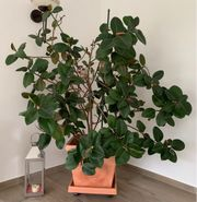 Pflanze Zimmerpflanze Gummibaum echt inklusive