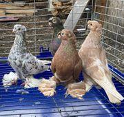 Usbekische Tauben zu verkaufen