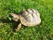 Griechische Landschildkröten juvenil