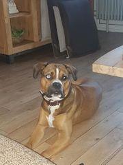 Boxer mischling sucht ein neues